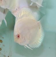 Platinum Discus Fish  2.5 inch