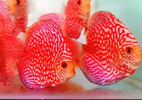 Red Panda Discus Fish  2.5 inch