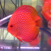 Golden Red Snake Discus Fish  2.5 inch