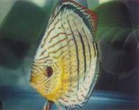 Peruvian Green Discus Fish 3 inch