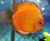 Apricot Discus Fish 2 inch