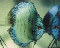 Emerald Green Discus Fish  3 inch