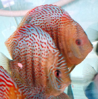 Wild Red Spot Green Discus Fish 3 inch