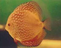 Tangerine Dream Discus Fish  2 inch