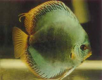 """Neon Turquoise Discus Fish"" 2 inch"