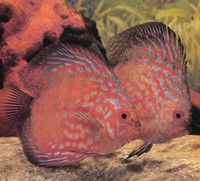 Pigeonblood Discus Fish  2 inch