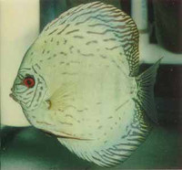 HB Great Turquoise Discus Fish 2 inch
