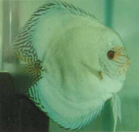 Solid Pastel Green Discus Fish 3 inch