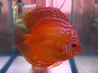 Alenquer Discus Fish  2.5 inch