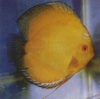 Gold Diamond Discus Fish  2.5 inch
