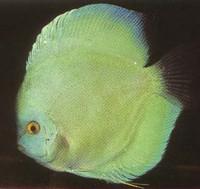 Hi Fin Ocean Green Discus Fish  3 inch
