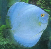 Hi Fin Saphire Blue Diamond Discus Fish  3 inch