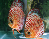 Red Spotted Diamond Discus Fish  3 inch