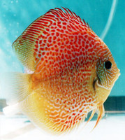 Red Leopard Snake Skin Discus Fish  2 inch