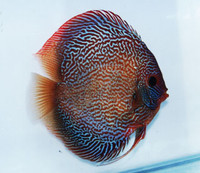 King Cobra Discus Fish 2 inch