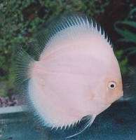 White Diamond Discus Fish  3 inch
