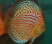 Spotted Royal Pigeon Discus Fish  2.5 inch