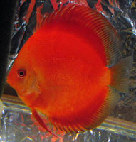 Red Ruby Discus Fish  3 inch
