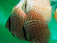 Ring Leopard Discus Fish  3 inch