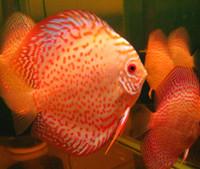 Golden Leopard Discus Fish  3 inch