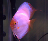 White Butterfly Discus Fish  3 inch