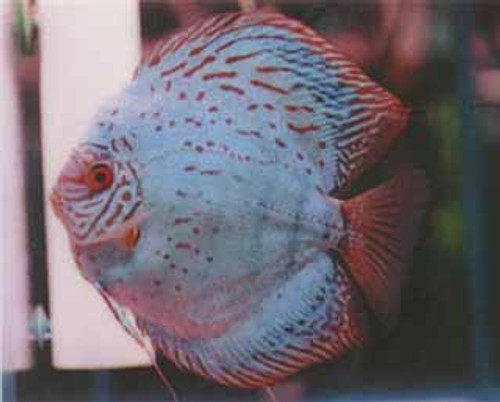 HB Great Blue Discus