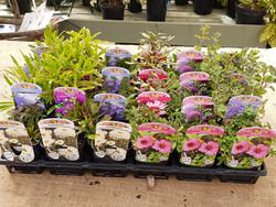 Summer Flowering Perennials