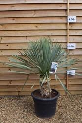 Beaked yucca/ Dessert yucca - Yucca rostrate 'Blue Swan' 35lt