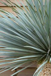 Beaked yucca/ Dessert yucca - Yucca rostrate 'Blue Swan' 60lt