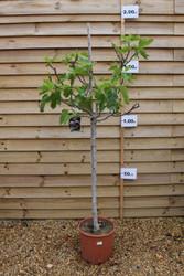 Common Fig - Ficus carica 'Brown Turkey'