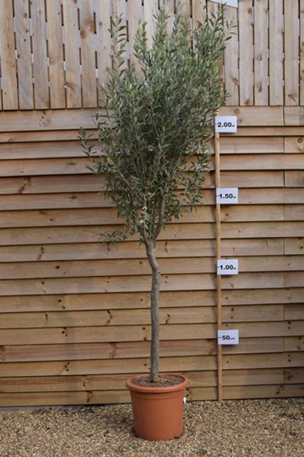 Olive Tree - Olea europaea