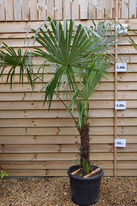 Trachycarpus Fortunei - Single Stem (Chusan Palm) 80 - 100cm