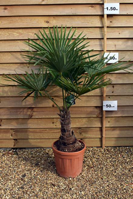 Trachycarpus Fortunei Single Stem - (Chusan Palm) 25 - 30cm
