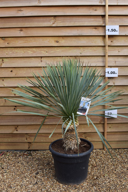 Beaked yucca/ Dessert yucca - Yucca rostrate 'Blue Swan' 35lt