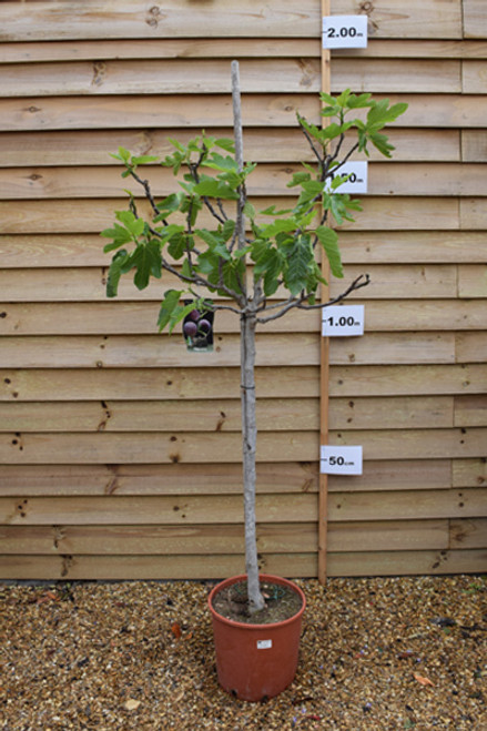 Common Fig - Ficus carica 'Brown Turkey'