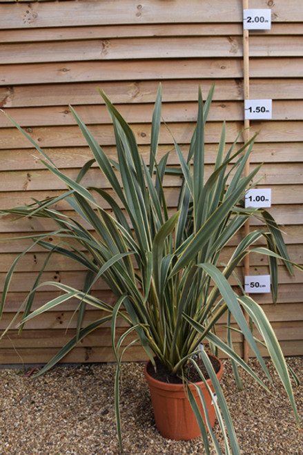 New Zealand Flax - Phormium Tenax 'Variegata' 25 Lt Pot
