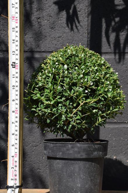 Ilex Crenata 'Stokes' – Topiary Ball