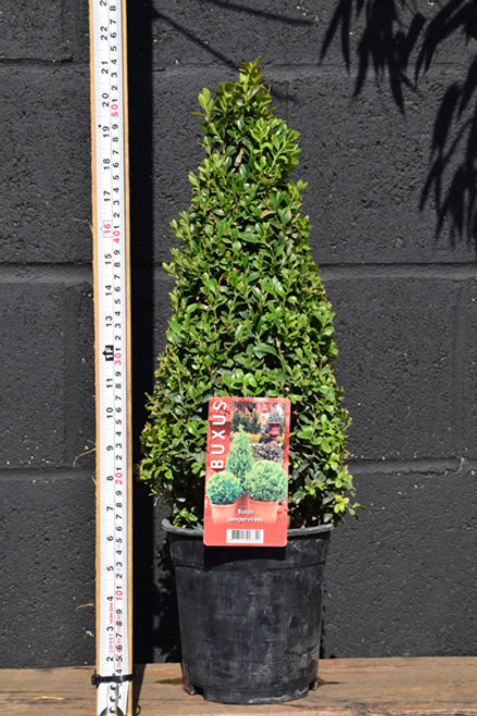 Buxus Sempervirens – Topiary Cone