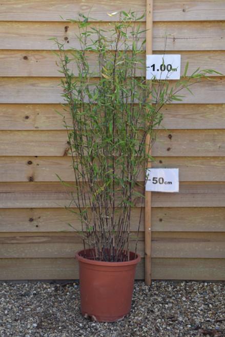Bamboo - Fargesia nitida 'Black Pearl'