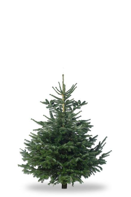 Christmas Tree Nordmann Fir 4ft - 5ft