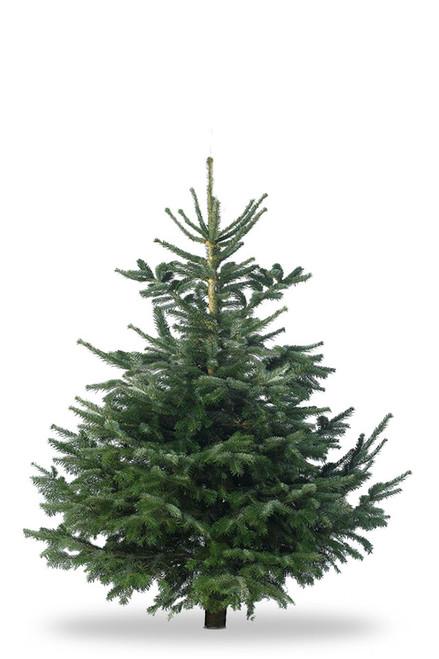 Christmas Tree Nordmann Fir 5ft - 6ft