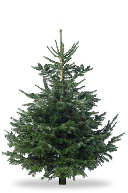 Christmas Tree Nordmann Fir 6ft - 7ft