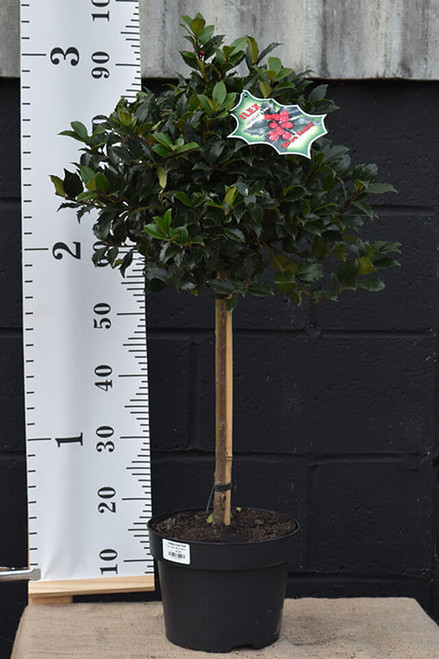 Holly Tree - Llex  meserveae 'Blue Maid'