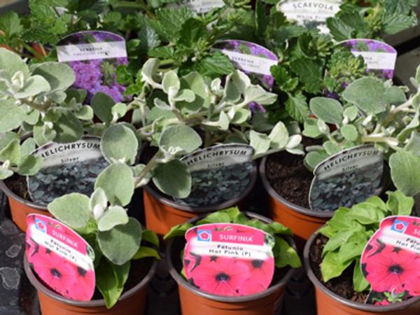 Seasonal Bedding, Patio &  Basket Plants -  Pastel Shades