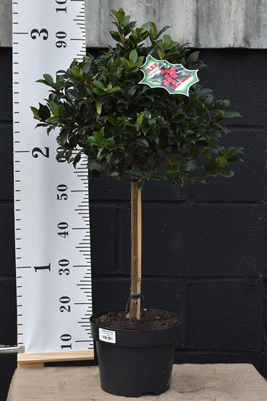 Holly Tree - Llex  meserveae 'Blue Maid'