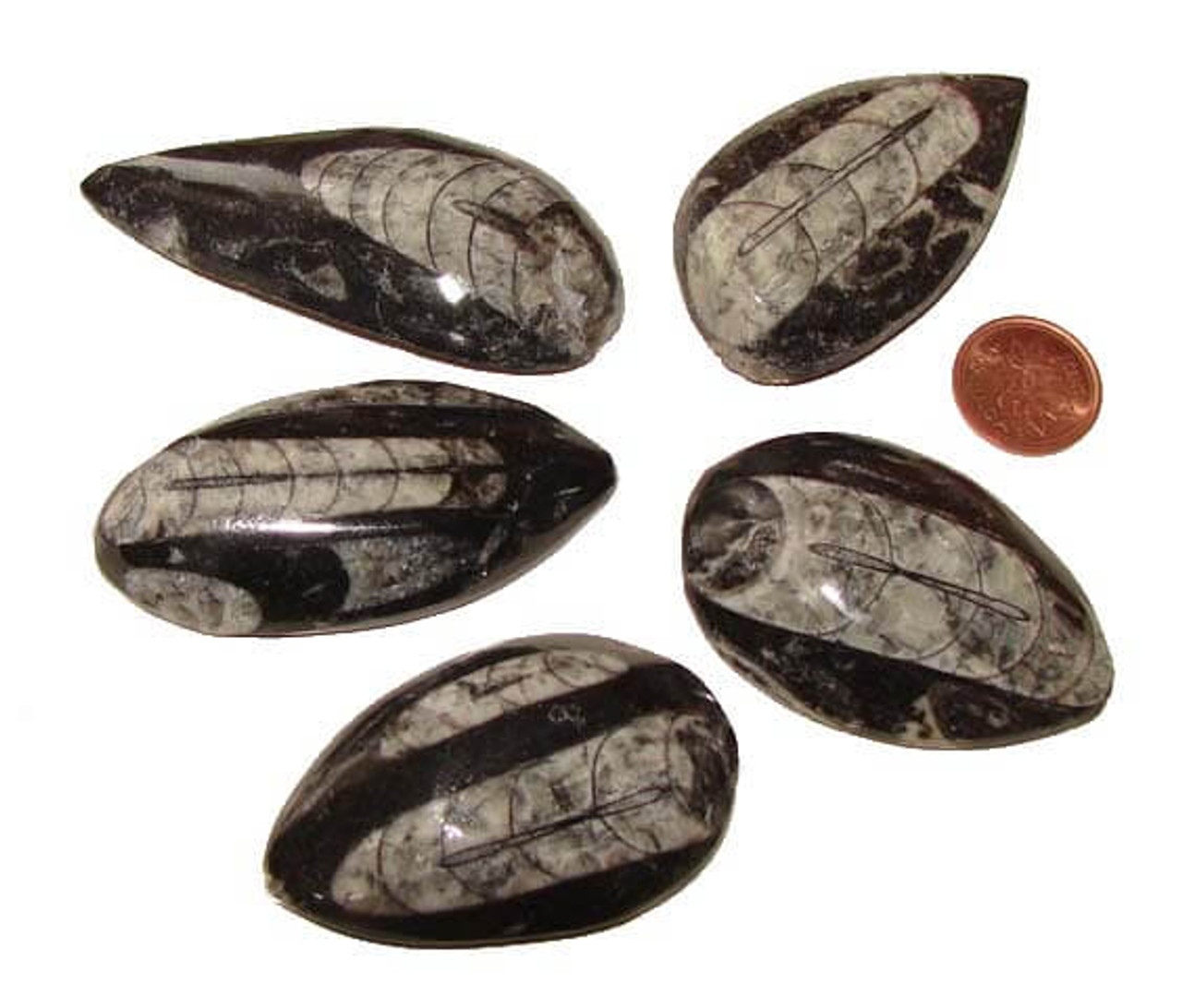 Orthoceras Polished Fossils, XXX Large, 30 to 34 grams, 2 to 3-1/2 inches