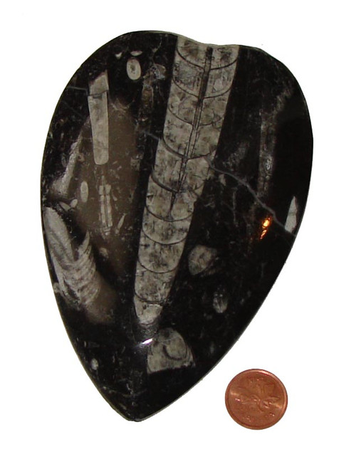 Orthoceras Fossils - Specimen C