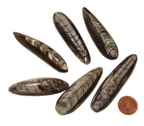 Orthoceras Fossils, size large