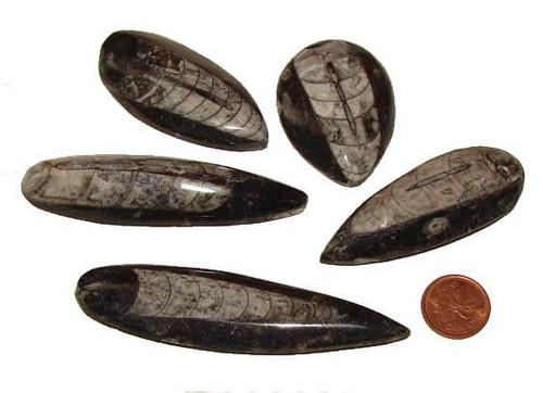 Orthoceras Polished Fossils, size xx large