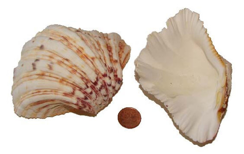Bear Paw Clam Shell